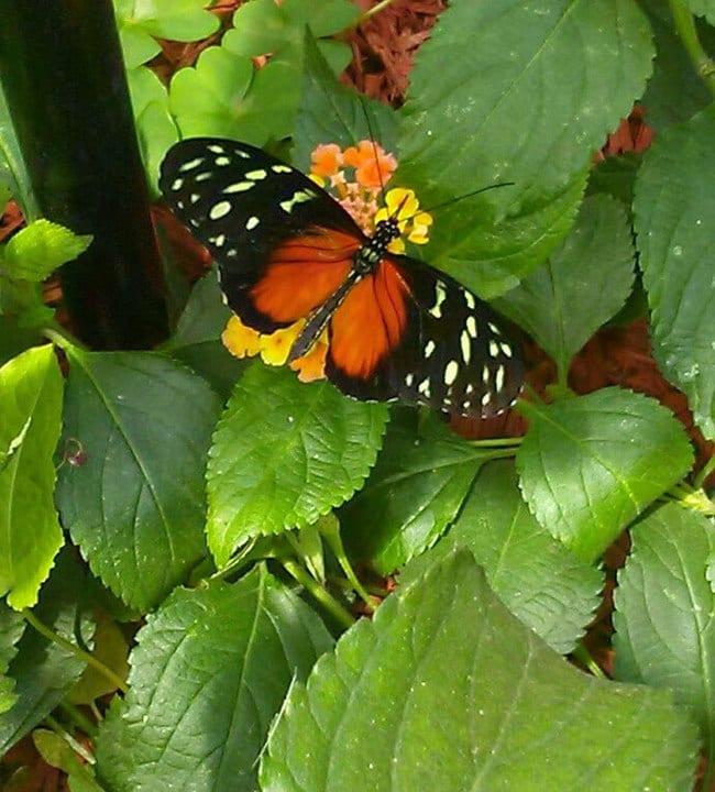 butterflies Mackinac